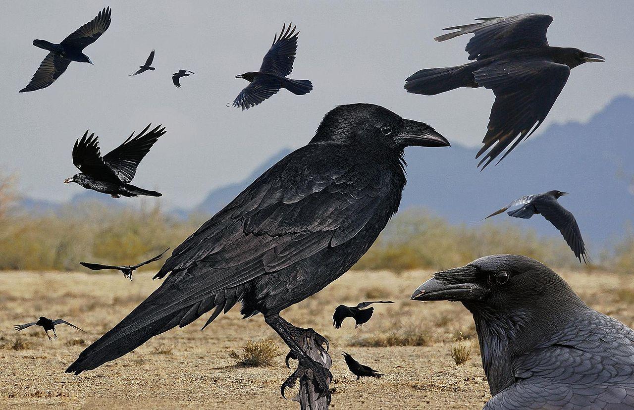 Chihuahian Raven