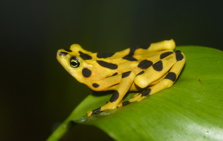 Panamanian Golden Frog, Atelopus Zeteki