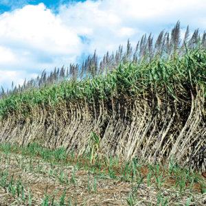 sugar cane ready to harvest