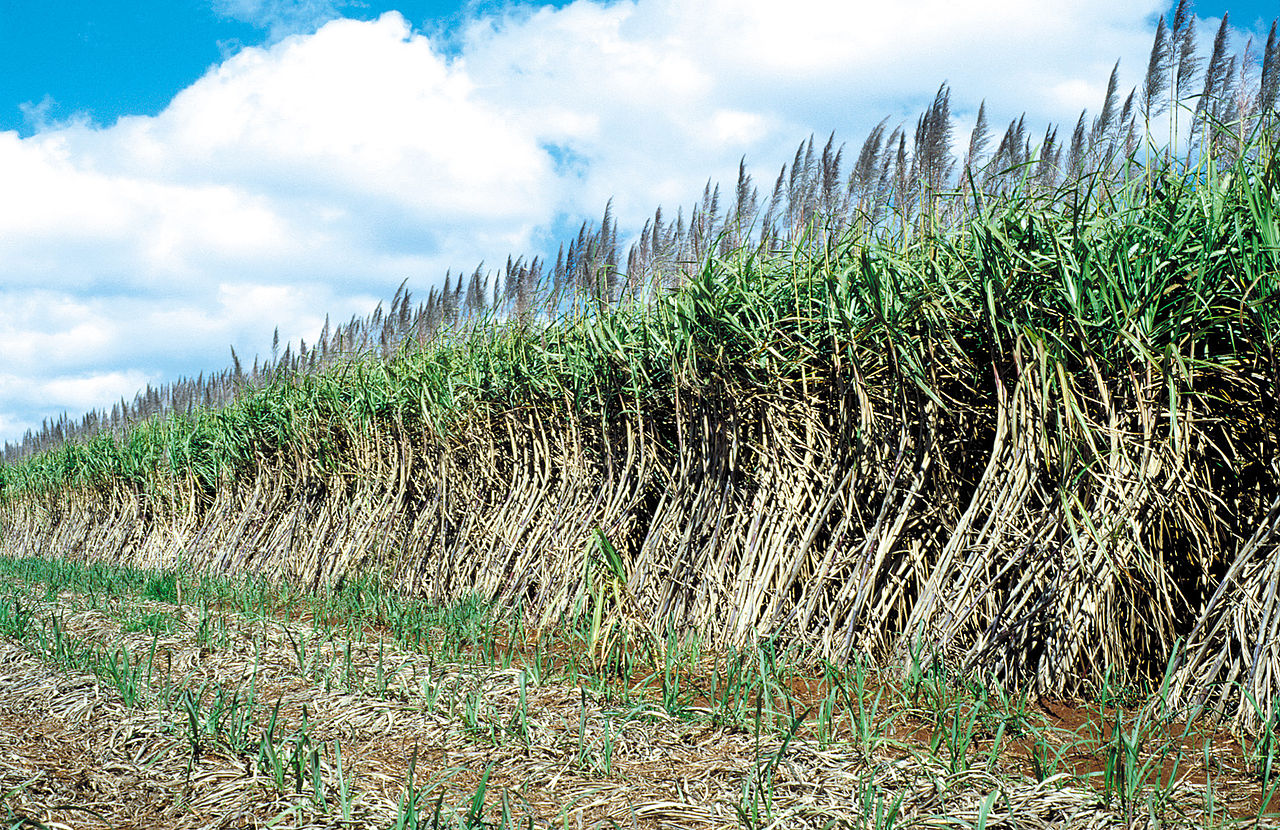 sugar cane ready to harvest