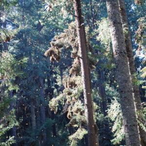 Trees in Sierra Chincua, Michoacan, Mexico
